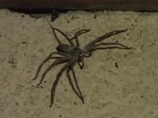 を クモ ゴキブリ 食べる